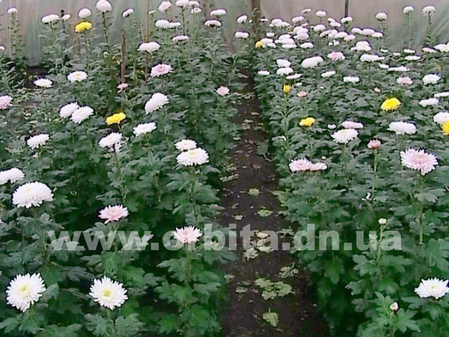 Выращивание хризантем в те 190