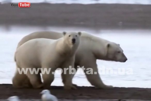 Какого цвета на самом деле белые медведи?