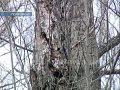 В Покровске пилят деревья. Все, кроме аварийных